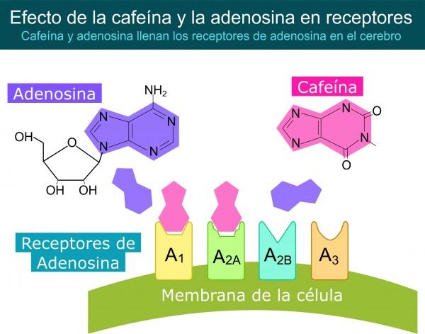 Cafeina y Adenosina luchando por los receptores por Recharge.Energy CC BY-SA 4.0