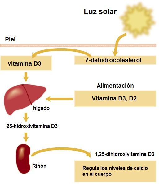 sintesis vitamina D